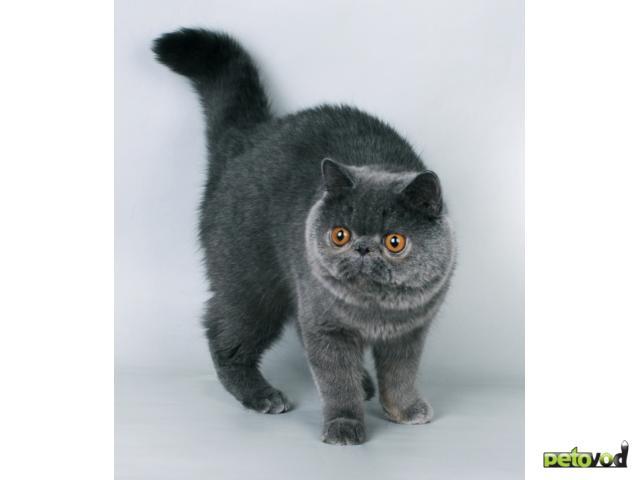 Продаю: Котята ЭКЗОТИЧЕСКИЕ к/ш фото3