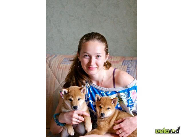 Продаю: Щенки японской собаки сиба-ину (сибы, шибы) фото2