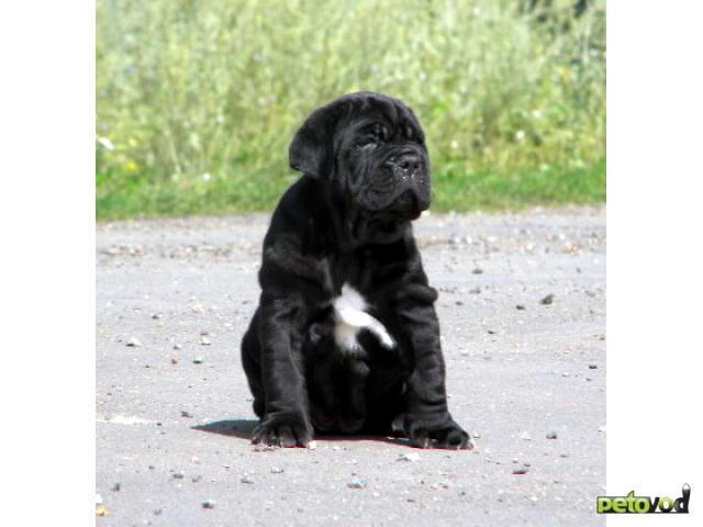 Продаю: Мастино наполетано породные щенки фото3