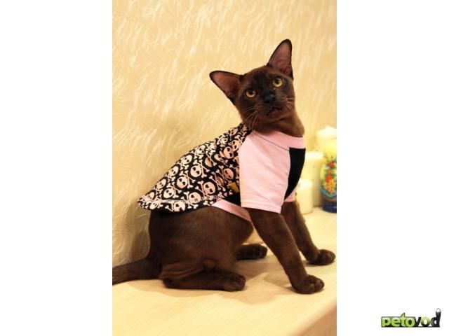 Продаю: Бурманские котята фото3