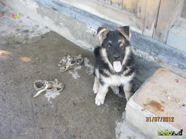 Потерялся/Нашелся: потерялся щенок восточноевропейская овчарка