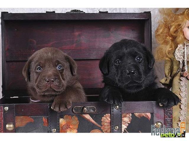 Куплю: Куплю Лабрадора щенка