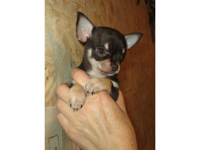 Продаю: Очаровательные щенки Чихуахуа фото2