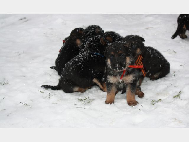 Продаю: Шикарные девочки щенки Немецкой овчарки