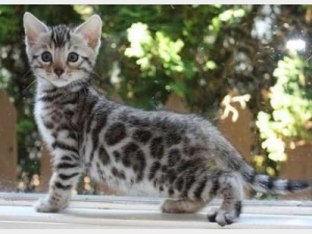 Продаю: Бенгальские котята на продажу