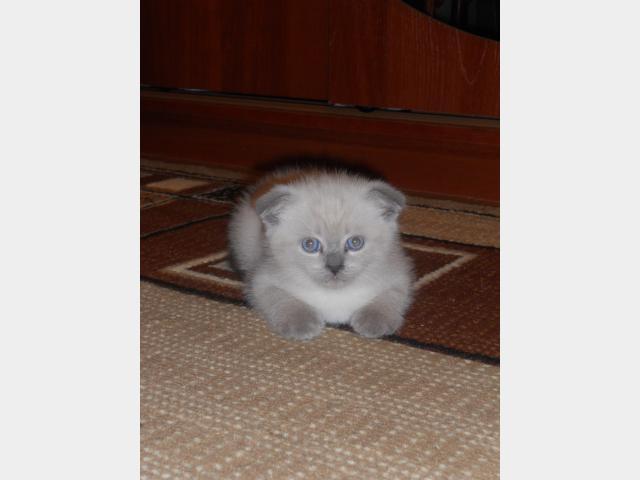 Продаю:  красивых шотландских котят