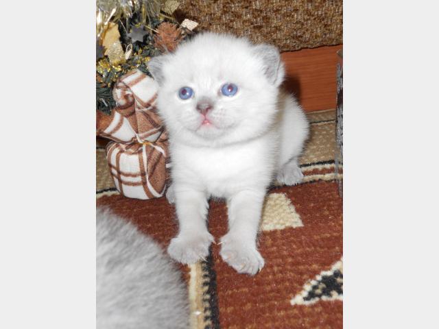 Продаю:  красивых шотландских котят фото2
