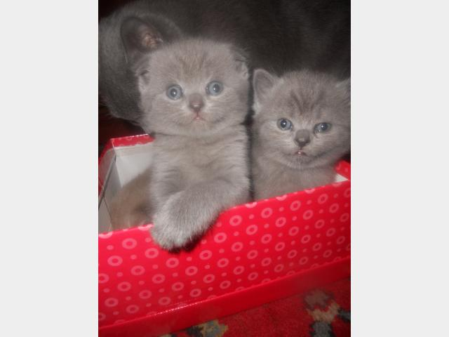 Продаю:  красивых шотландских котят фото3