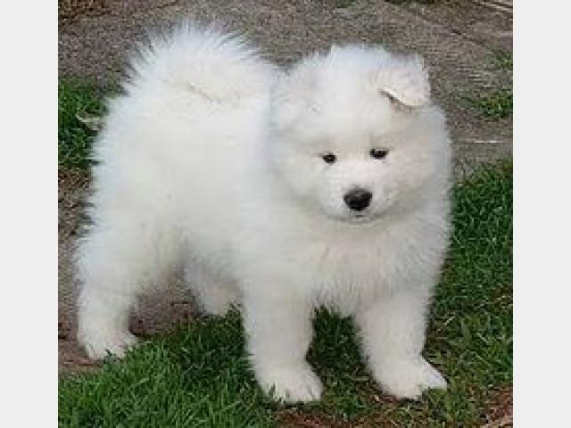 Продаю:  Самоедская собака (самоед), щенки