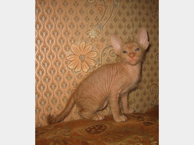 Продаю: Котята донского сфинкса фото3