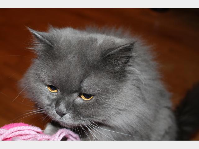Вязка: Ищем кошечку для вязки