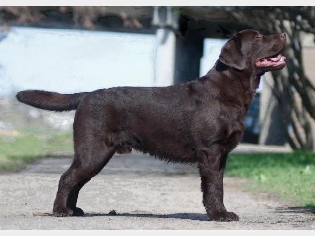 Продаю: Шоколадные щенки лабрадора ретривера фото2