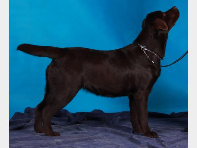 Продаю: Шоколадные щенки лабрадора ретривера фото3