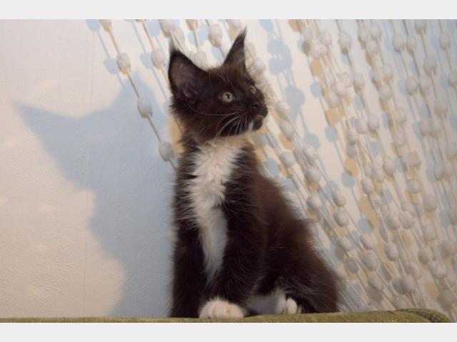 Продаю: тся чистокровные котята мейн кун