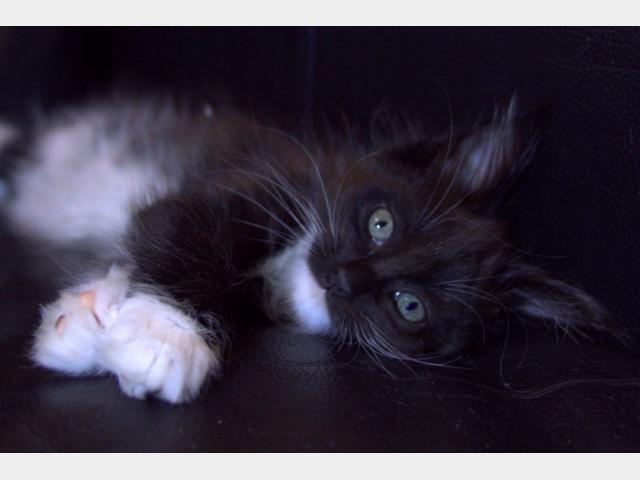 Продаю: тся чистокровные котята мейн кун фото2