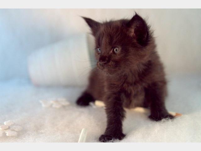 Продаю: тся чистокровные котята мейн кун фото3