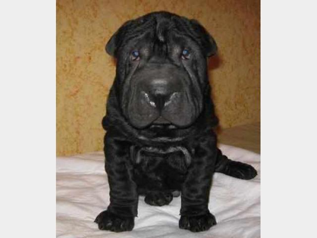 Продаю:  щенка шарпея с документами