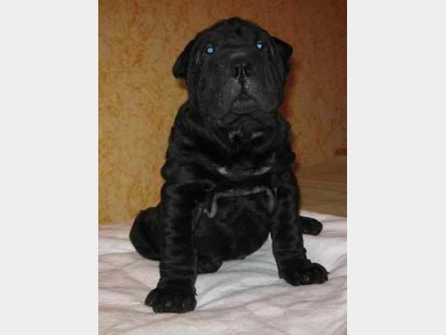 Продаю:  щенка шарпея с документами фото2