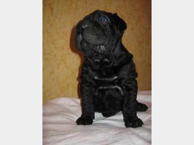 Продаю:  щенка шарпея с документами фото3