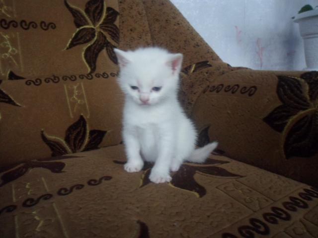 Продаю: Готовится к продаже британсский белый котик