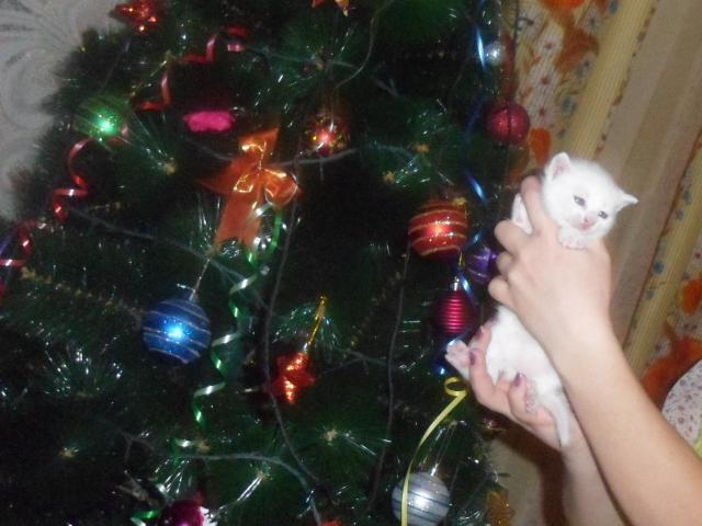 Продаю: Готовится к продаже британсский белый котик фото2