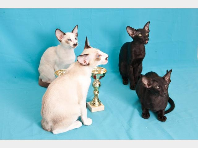 Продаю: Питомник предлагает ориентальных котят шоу-класса