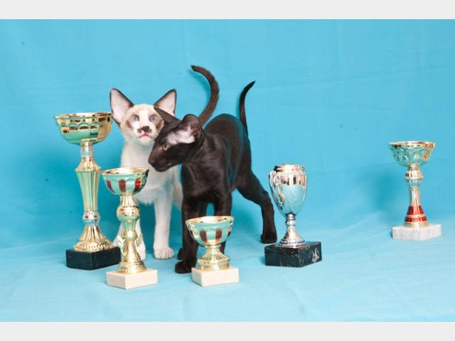 Продаю: Питомник предлагает ориентальных котят шоу-класса  фото2