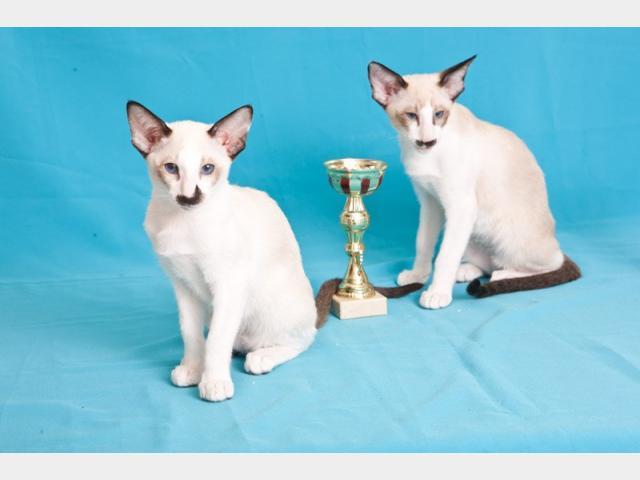 Продаю: Питомник предлагает ориентальных котят шоу-класса  фото3