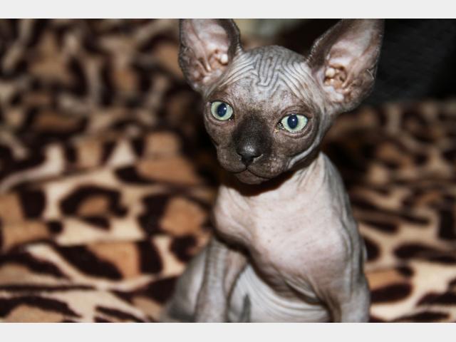 Продаю: Голенькие котята канадцы фото2
