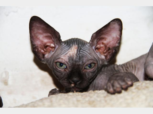 Продаю: Голенькие котята канадцы фото3