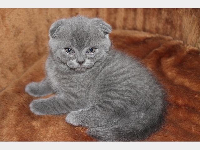 Продаю: Плюшевые котятки скоттиш-фолд и скоттиш-страйт  фото2