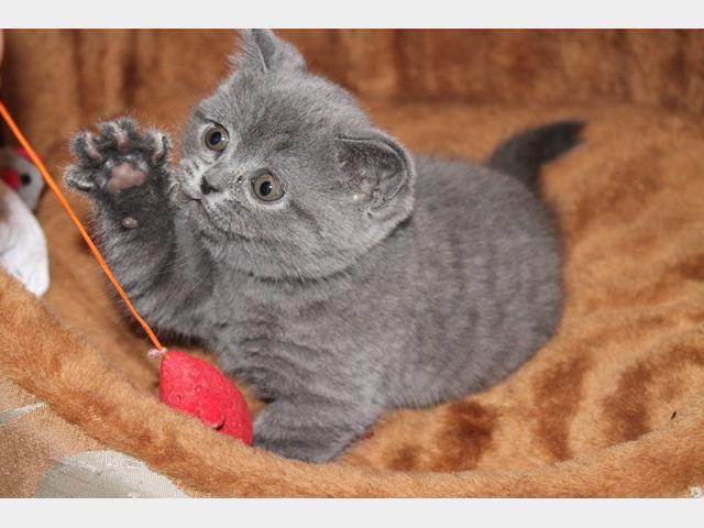 Продаю: Плюшевые котятки скоттиш-фолд и скоттиш-страйт  фото3