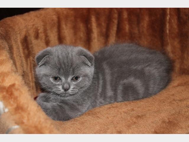 Продаю: Плюшевые котятки скоттиш-фолд и скоттиш-страйт