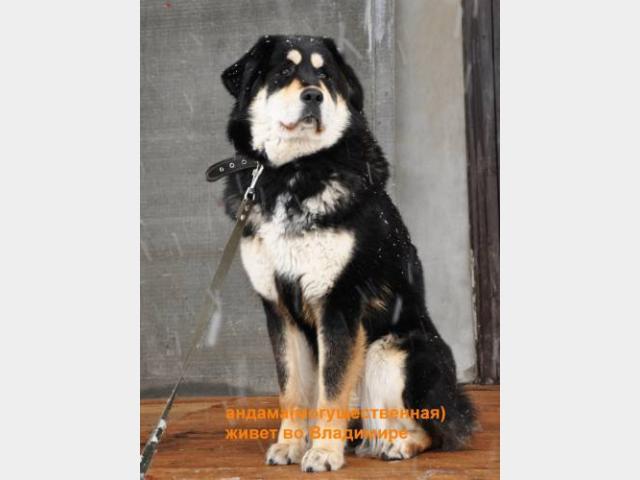 Продаю:  щенков Тибетского Мастифа с родословной