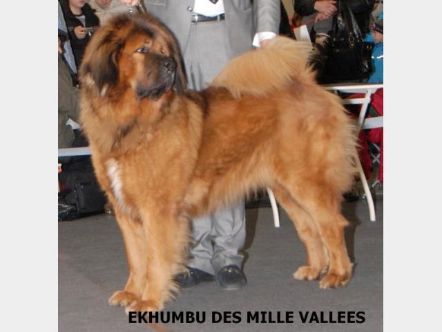 Продаю:  щенков Тибетского Мастифа с родословной фото2