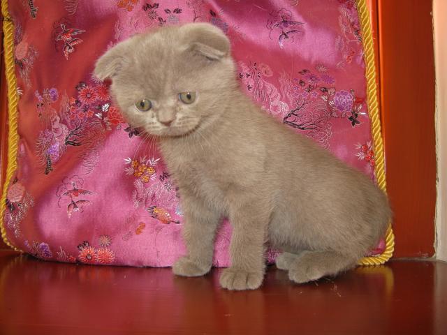 Продаю: тся шотландские котята фото2