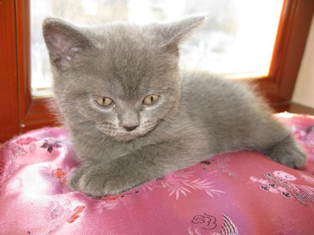 Продаю: тся шотландские котята фото3