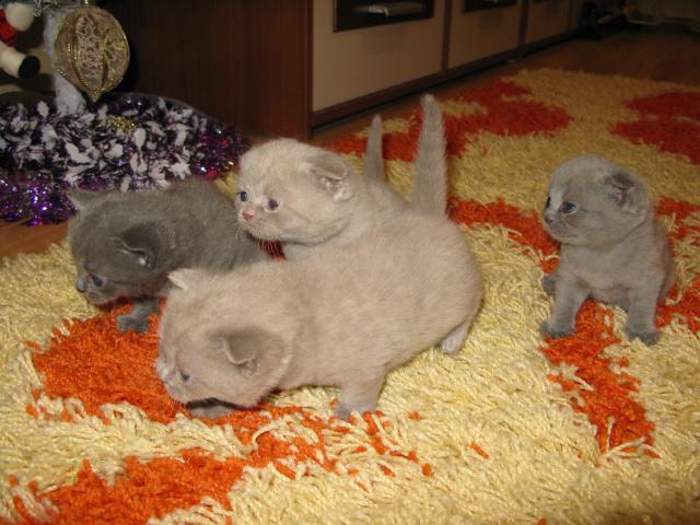 Продаю: тся шотландские котята