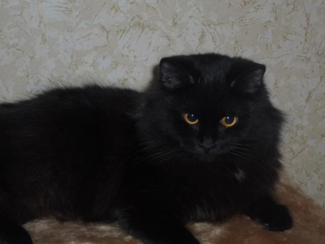 Потерялся/Нашелся: Найдена черная пушистая кошка, Омск