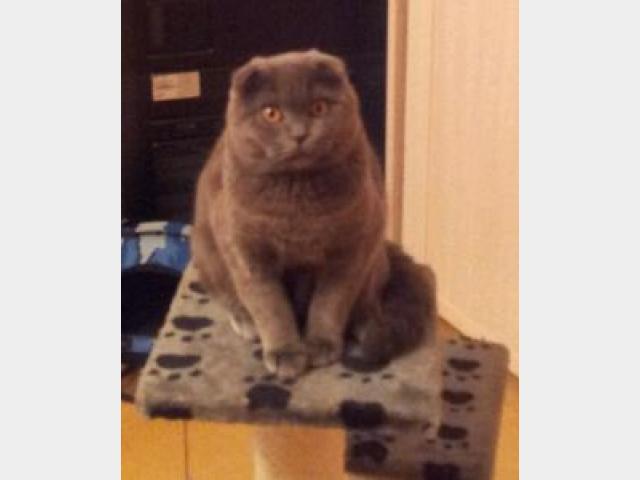 Вязка: Шотландский вислоухий кот для вязки