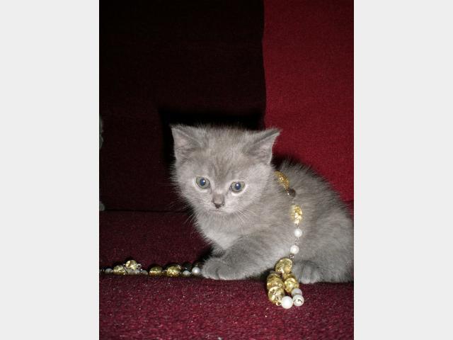 Продаю: Продается британский котик