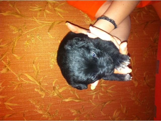 Отдам в дар: Мишка-лабрадор фото2