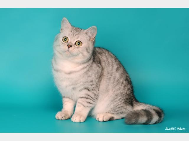 Продаю:  чистокровных британских котят