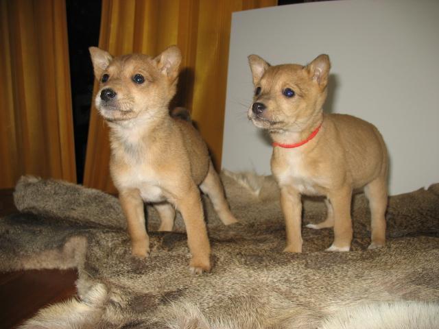 Продаю: тся эксклюзивные щеночки фото2
