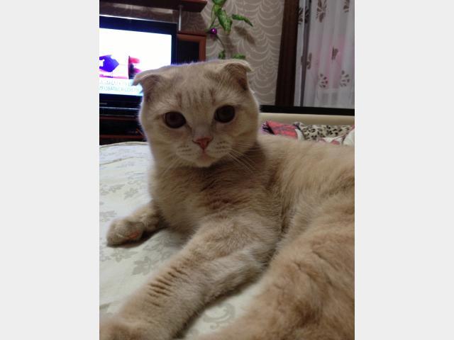 Вязка: Шотландский вислоухой кот для вязки