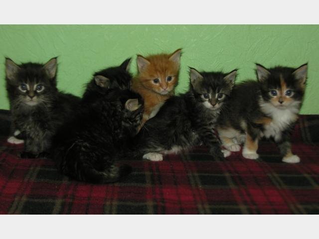 Продаю: Котята породы Мейн кун