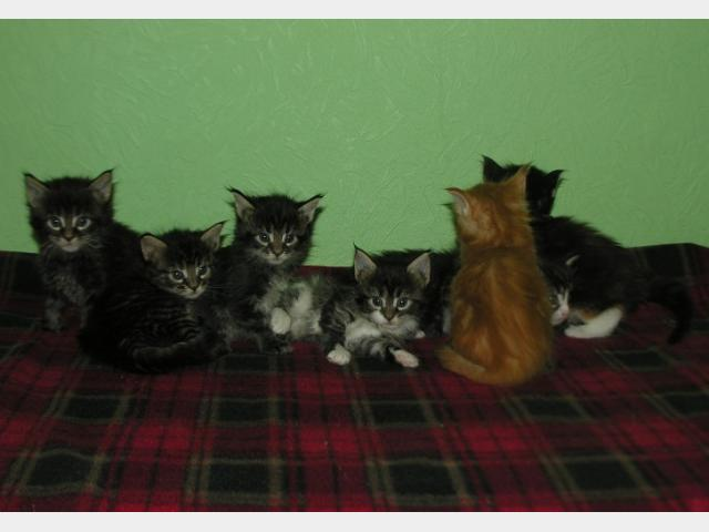 Продаю: Котята породы Мейн кун фото2