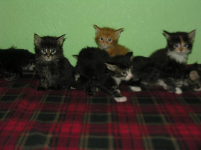 Продаю: Котята породы Мейн кун фото3
