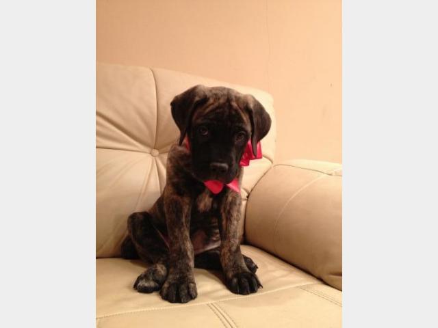 Продаю:  щенка бульмастифа фото2