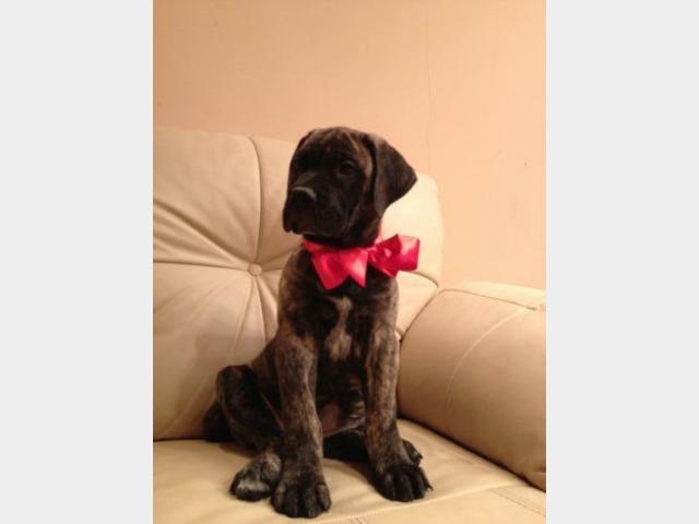 Продаю:  щенка бульмастифа фото3